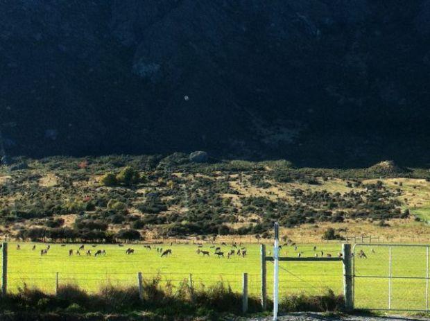 New Zealand deer, Queenstown day trips by car