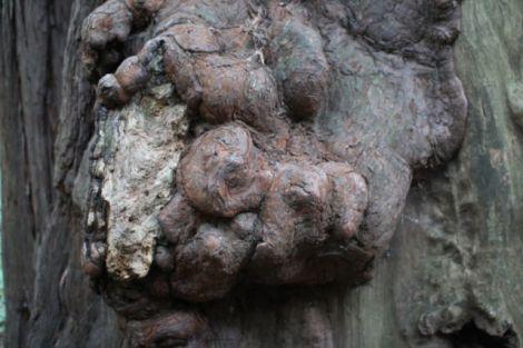 Muir Woods tree trunk