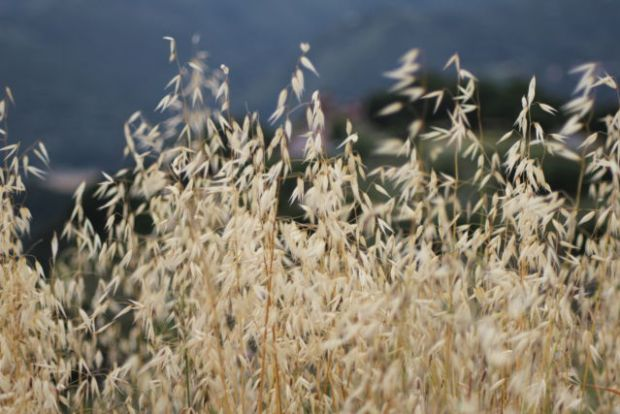 San Francisco to Monterey: Californian oat