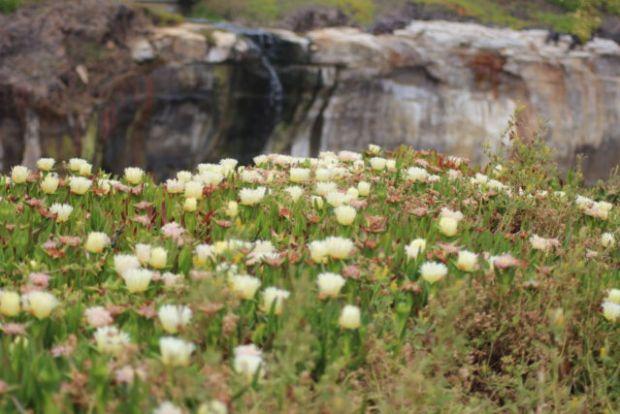 San Francisco to Monterey, coastal ice plants