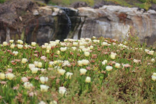 San Francisco to Monterey: ice plants along West Cliff Drive