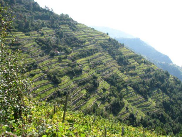 Terraced vineyards of Cinque Terre