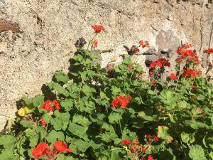 Jardim do Mar flowers
