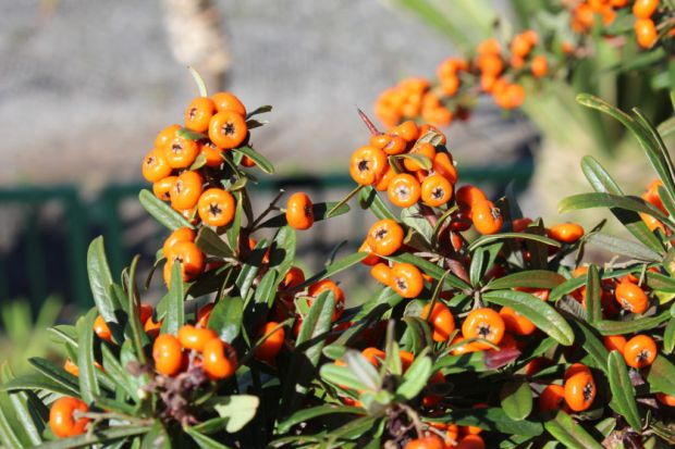 Funchal, Madeira: colourful berries