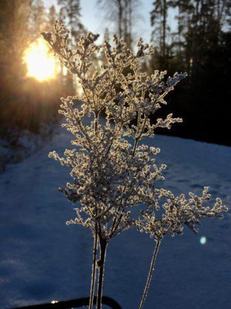 Winter nature in Finland, a frozen flower
