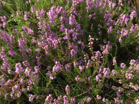 Dune heather, North Jutland