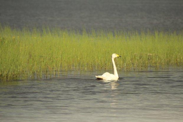 Lake Näsijärvi swan