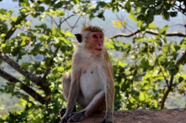 Monkey, Sri Lanka