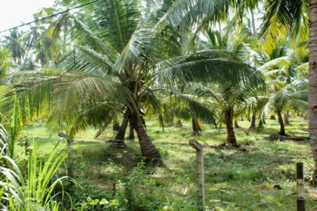 West coast palm trees Sri Lanka
