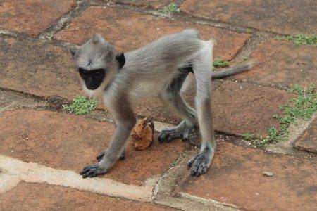 Anuradhapura baby monkey
