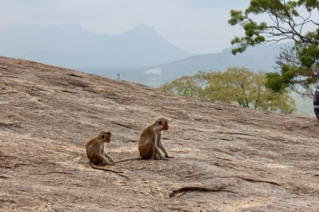 Dambulla Cave Temple monkeys