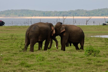 Kaudulla National Park elephants fighting
