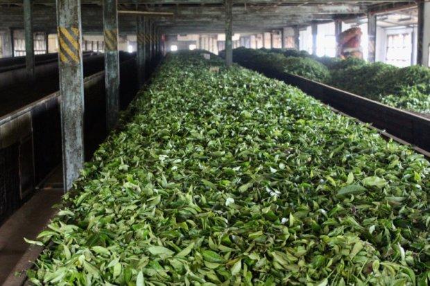 Tea leaves in tea factory