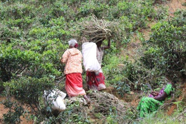 Picking twigs, Sri Lanka tea country
