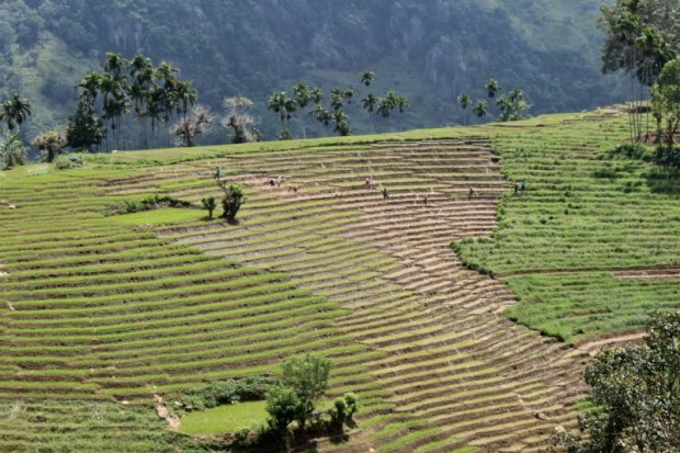 Rice fields, Sri Lanka tea country