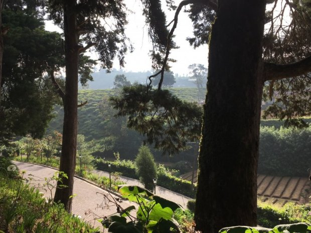 Tea gardens from Mirage Kings Cottage