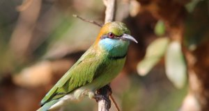 Yala National Park bee-eater