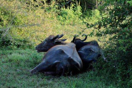 Yala National Park buffaloes