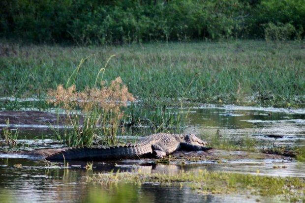 Yala National Park crocodile in water