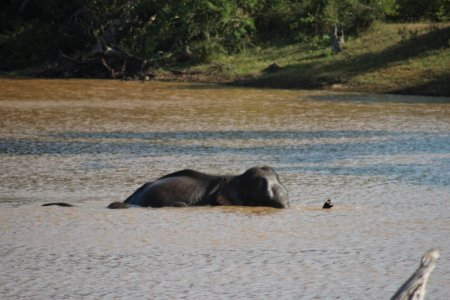 Yala National Park elephants in water