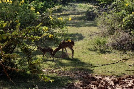 Yala National Park spotted deer
