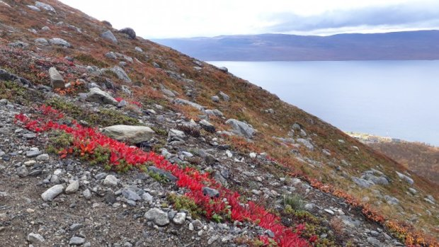 Arctic autumn colours, Saana fell