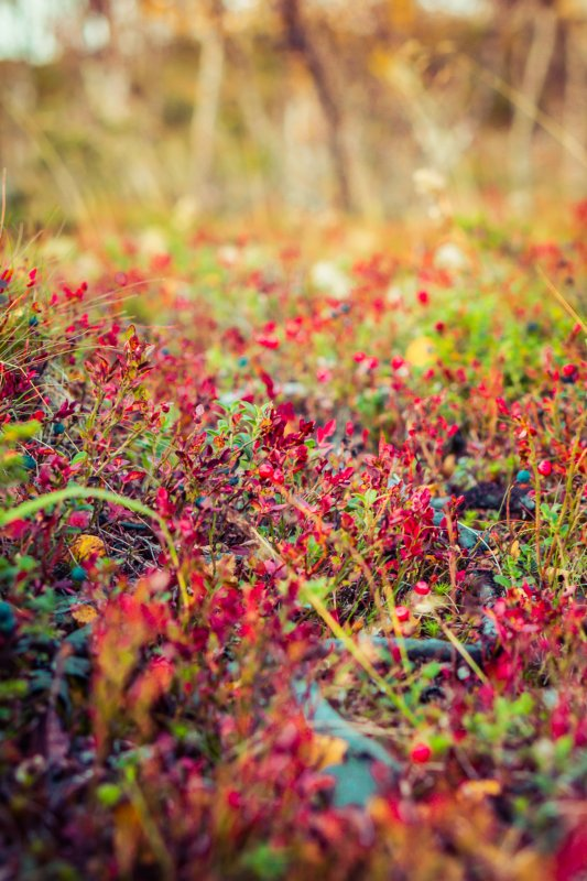Autumn trip to Lapland, wild berries