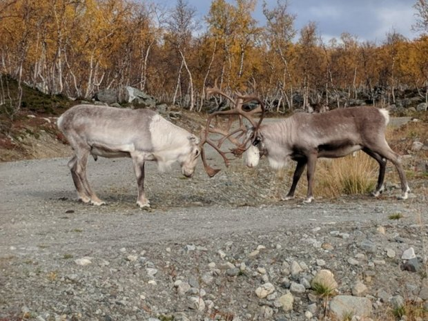 Reindeer fighting