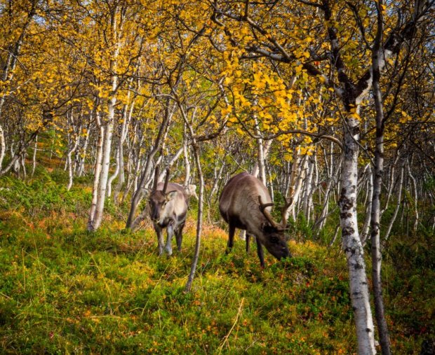 Reindeer in Lapland forest