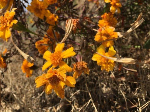 Himalaya flowers