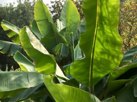 Parque del Drago, banana tree