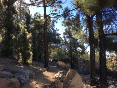 Pine forest on the way to Mount Teide National Park