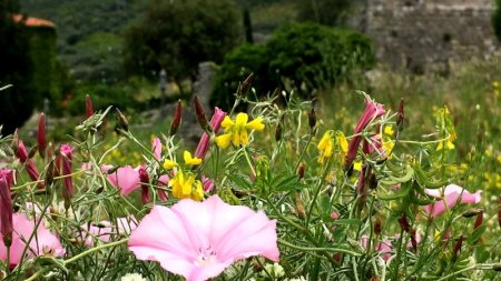 Stari grad Bar flowers and ruins, Montenegro