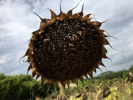 Crete Senesi sunflower, Tuscany