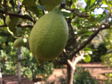 Italy by train and car: Tuscan lemon tree