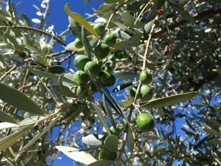 Tuscan olives