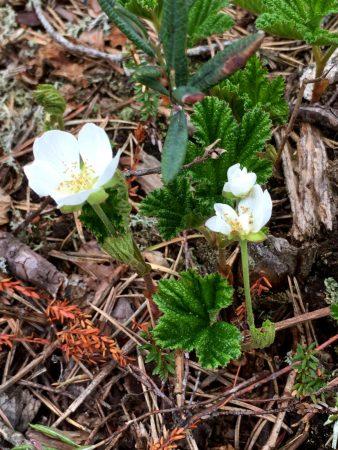 Cloudberry, Paukaneva, Ostrobothnia