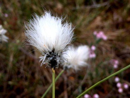 Ostrobothnia road trip: Tussock cottongras