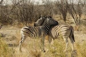 Zèbres, Etosha, Namibie - les Routes du Monde