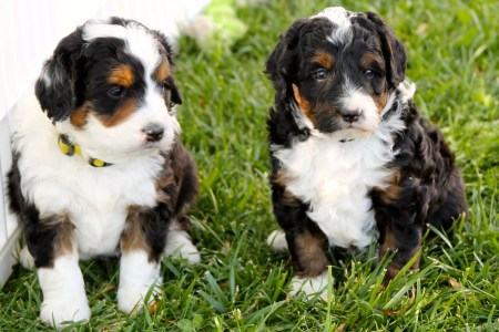 The Truth About Dog Breeding   The Dog People by Rover com For