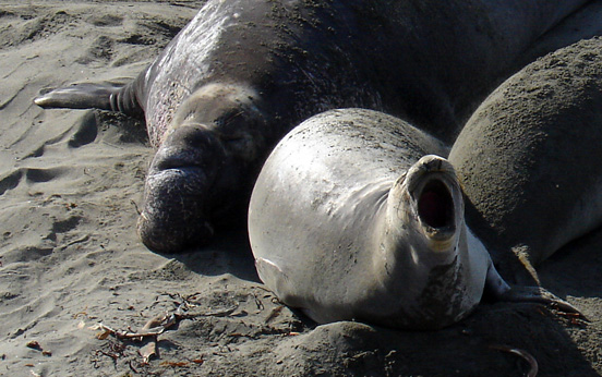 Elephant Seal Rookery in San Simeon California