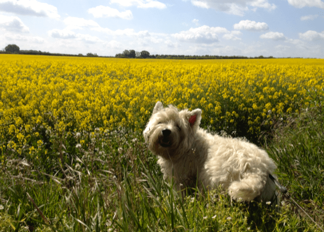Puppy on the edge of a rapeseed field in Norfolk