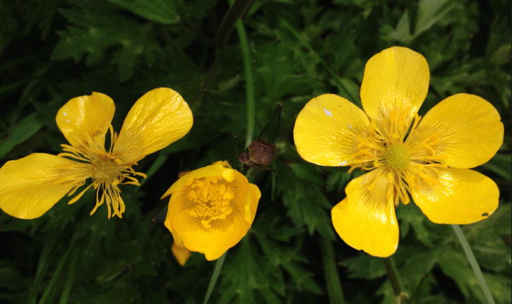 Buttercups in Norfolk