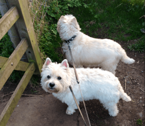 Dog walking in Norfolk West Highland Terriers