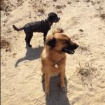 Walking the dogs Montara Beach Near Half Moon Bay California