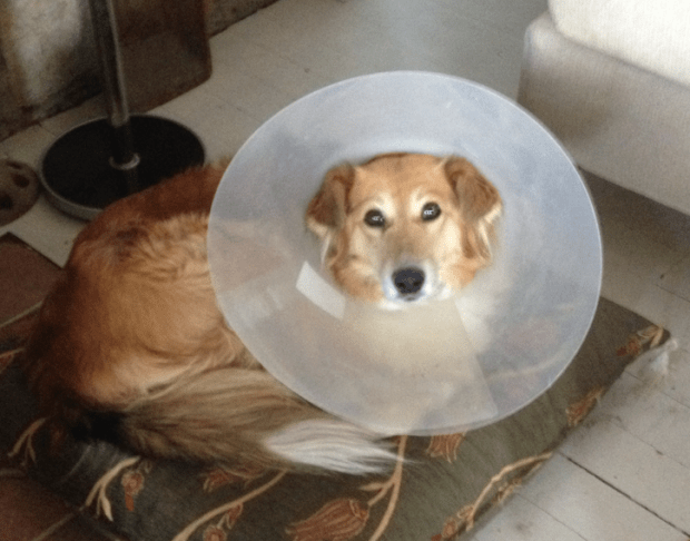 Tilki in the cone of shame while dog sitting in Turkey