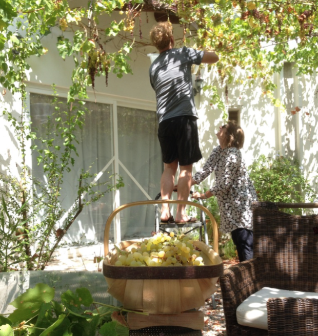 Red and Annie picking grapes