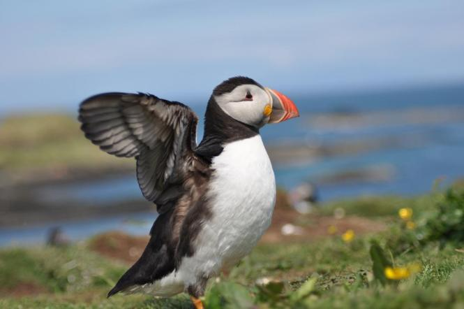 Puffin - Isle of Lunga Scotland
