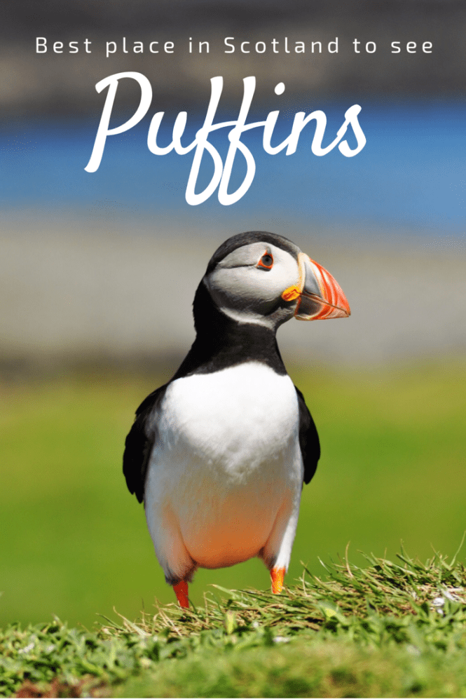 Best Place in Scotland to see Puffins