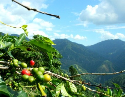 Coffee Growing in the Blue Mountains